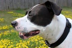 Profil einer Pitbull Stockbild
