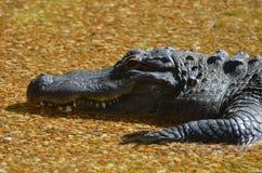 Profil eines Alligators, der in der Untiefe stillsteht lizenzfreies stockbild
