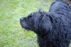 Profil eines alten und schmutzigen schwarzen Hundes Stockbilder