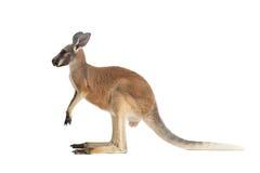 Profil eines Baby-roten Kängurus auf einem Weiß Lizenzfreie Stockfotografie