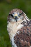 Profil eines Falken Lizenzfreie Stockfotos