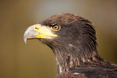 Profil eines Fisch-Adlers Lizenzfreies Stockbild