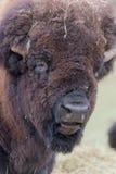 Profil eines großen amerikanischen Feld-Büffels stockfotografie