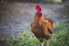 Profil eines Hahns auf einem Bauernhof, der die Kamera mit einem Auge betrachtet Lizenzfreie Stockfotografie