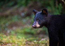 Profil eines jungen schwarzen Bären Stockfoto