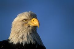 Profil eines kahlen Adlers Stockfoto