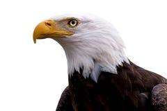 Profil eines kahlen Adlers getrennt auf Weiß Stockfotos