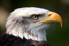 Profil eines kanadischen kahlen Adlers Stockfotografie