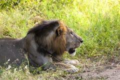 Profil eines Löwes Stockfoto