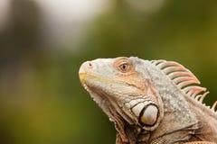 Profil eines Leguans lizenzfreie stockfotos
