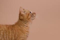 Profil eines roten Kätzchens Stockfotografie