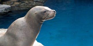Profil eines Seelöwes Stockfotografie