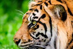 Profil eines Sumatran-Tigers Lizenzfreies Stockbild