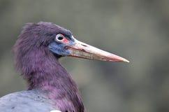 Profil eines weißen aufgeblähten Storchs Lizenzfreie Stockfotos