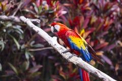 Profil för arafågelsida, medan sitta på en filial i en djungel Royaltyfri Bild