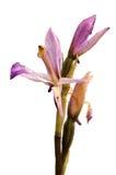 Profil för blomma för orkidé för Limodorum trabutianum lös över vit Arkivbild
