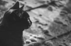 Profil för svarta katter Arkivfoto