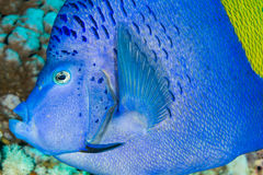 Profil för Yellowbar havsängelhuvud royaltyfria bilder