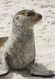 Profil of Galapagos Sea Lion, Stock Photography