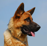 Profil of german shepherd Stock Photography