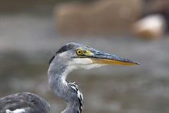 Profil gris de héron (Ardea cinerea) Image stock
