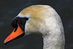Profil haut étroit d'une tête de cygne muet photographie stock libre de droits