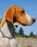 Profil of Hunting dog stock image