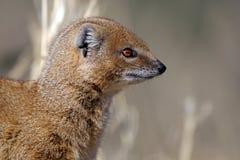 Profil jaune de mangouste, désert de Kalahari Image libre de droits