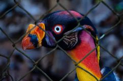 Profil Königs Vulture eingeschlossen zwischen Gitter, Porträt lizenzfreies stockfoto