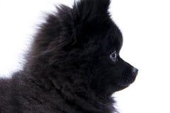 Pomeranian Profil II Lizenzfreie Stockbilder