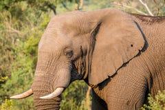 Profil latéral d'un éléphant africain photographie stock libre de droits