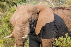Profil latéral d'un éléphant africain photos libres de droits