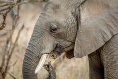 Profil latéral d'un éléphant africain image stock