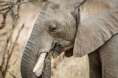 Profil latéral d'un éléphant africain images stock