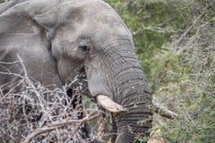 Profil latéral d'un éléphant dans le Kruger photographie stock