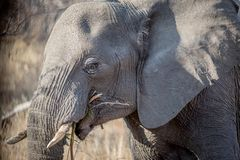 Profil latéral d'un éléphant dans le Kruger image libre de droits