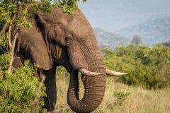 Profil latéral d'un éléphant dans Welgevonden photo stock