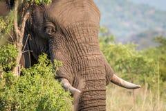 Profil latéral d'un éléphant dans Welgevonden photos libres de droits