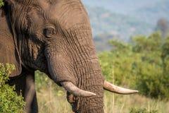 Profil latéral d'un éléphant dans Welgevonden images stock
