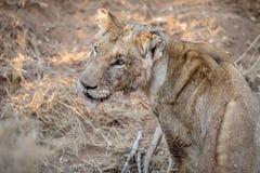 Profil latéral d'un jeune lion masculin image stock
