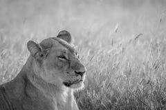 Profil latéral d'un lion en noir et blanc Photos stock