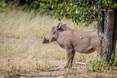 Profil latéral d'une phacochère dans Hwange Photo libre de droits
