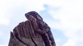 Profil latéral de caméléon lisse contre le ciel bleu image libre de droits