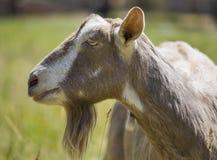 Profil latéral de chèvre de bonne d'enfants image libre de droits