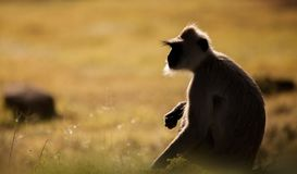 Profil latéral de Grey Langur image libre de droits