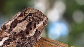 Profil latéral de la tête du caméléon lisse images libres de droits