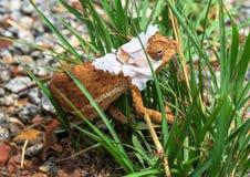 Profil latéral du caméléon de Brown Flapnecked - dilepis de chamaeleo sur l'herbe verte image libre de droits