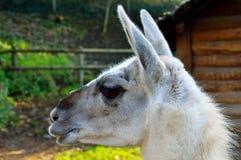 Profil latéral de lama Photo libre de droits