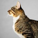 Profil Młody Brown Tabby kot na Szarym tle fotografia stock
