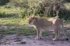 Profil młody męski lew, Serengeti, Tanzania Obraz Stock